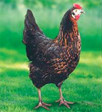poulette-novoblack